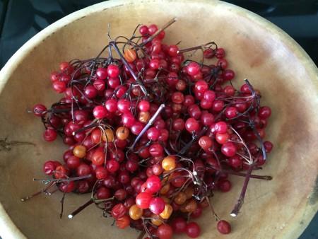 Highbush cranberry harvest